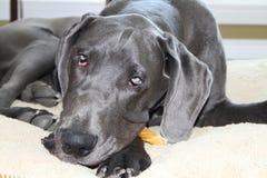 Het grote puppy van de Deen Stock Foto's