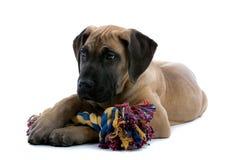 Het grote puppy van de Deen met stuk speelgoed stock fotografie