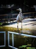 Het grote Reiger ontspannen op zoet watermeer in Oxford FL Royalty-vrije Stock Foto