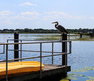 Het grote Reiger ontspannen op zoet watermeer in Oxford FL Royalty-vrije Stock Foto's
