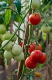 Het grote rijpe rode tomaat hangen op de tak in serre in zomer stock foto's
