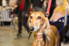 Het grote rood fured hondenportret Royalty-vrije Stock Afbeeldingen