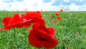 Het grote rood poppied op het groene gebied Stock Foto