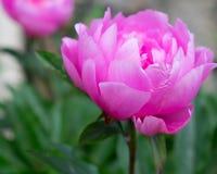 Het grote roze hoofd van de pioenbloem Royalty-vrije Stock Afbeelding