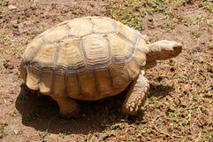Het grote schildpad dichte opstaan op de grond stock afbeelding