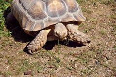 Het grote schildpad voeden op één enkel stuk van gras royalty-vrije stock foto's
