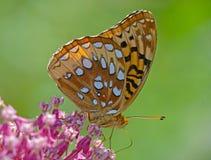 Het grote Spangled Fritillary-Vlinder voeden op roze Milkweed stock afbeeldingen
