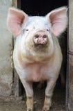 Het grote varken stellen bij de camera royalty-vrije stock fotografie