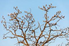 Het grote verzamelen zich van de eters van de karmijnbij op een boom royalty-vrije stock fotografie