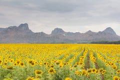 Het grote volledige gebied van de boomzonnebloem met bergachtergrond Royalty-vrije Stock Foto