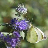 Het Grote wit van de vlinder op Caryopteris of Bluebeard stock foto