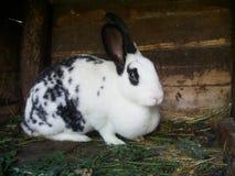 Het grote witte damhinde-konijn met zwarte vlekken Stock Afbeeldingen