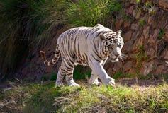 Het grote witte mannelijke de tijger van Bengalen lopen stock afbeelding