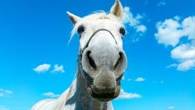 Het grote witte portret van het paardhoofd op een zonnige de zomerdag met duidelijke blauwe hemel en witte wolken royalty-vrije stock foto
