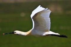 Het grote witte spoonbill vogel vliegen royalty-vrije stock afbeelding