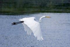 Het grote Witte Vliegen van de Aigrette Stock Afbeeldingen