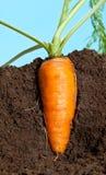 Het grote wortel groeien in grond royalty-vrije stock afbeeldingen