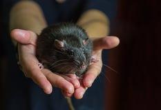 Het grote zwarte ratten volwassen knaagdier met het intelligente close-up van de de kleurenmink van de bliklaag kijkt recht stock foto's