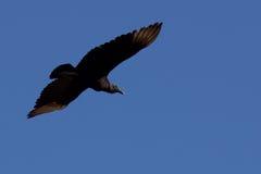 Het grote zwarte vogel vliegen royalty-vrije stock afbeeldingen