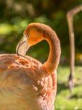Het grotere Flamingo verzorgen (Phoenicopterus ruber) Royalty-vrije Stock Afbeelding
