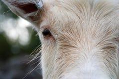 Het haar van de geit Royalty-vrije Stock Afbeeldingen