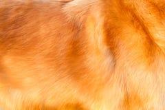 Het haar van de golden retrieverhond stock foto's