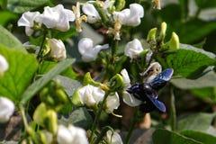 Het halen van nectar uit bloem stock foto