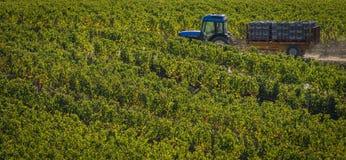 Het hand oogsten in de wijngaard van Bordeaux royalty-vrije stock afbeelding