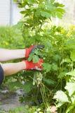 Het hand schoonmaken van onkruid in de yard stock foto's
