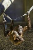 Het hangen van Borneanorangutam van een kabel Stock Foto's