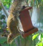 Het hangen van de eekhoorn Royalty-vrije Stock Foto's