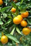 Het hangen van de mandarijn van de boom Stock Foto's