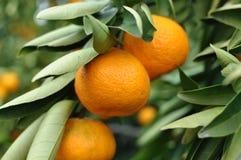 Het hangen van de mandarijn van de boom Stock Fotografie