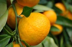 Het hangen van de mandarijn van de boom Stock Foto