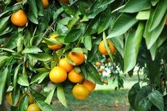 Het hangen van de mandarijn van de boom Royalty-vrije Stock Afbeeldingen