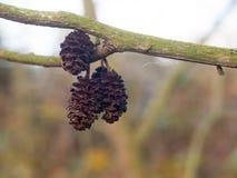Het hangen van dode en opgedroogde boomdelen op de winterspeld van de takherfst Stock Foto