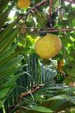 Het hangen van Durian op boom Stock Foto