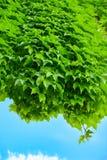 Het hangen van het gifsumak met blauwe hemel Royalty-vrije Stock Foto's