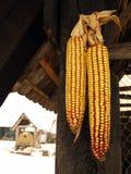 Het hangen van het graan op de schuur royalty-vrije stock afbeeldingen