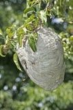 Het Hangen van het Nest van Yellowjacket Royalty-vrije Stock Foto