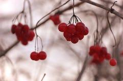 Het hangen van rode bessen van viburnumstruik in de herfst bij sepia achtergrond stock foto's