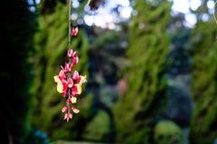 Het hangen van rode en gele bloem met groene pijnbomen als achtergrond Stock Afbeelding