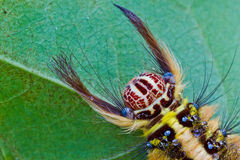 Bruin Caterpillar Royalty-vrije Stock Foto's