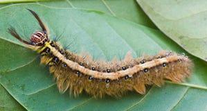 Bruin Caterpillar Stock Afbeeldingen