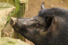 Het harige zwarte hoofd van een ` Kapitein Cooker `, een groot die varkensras in Nieuw Zeeland wordt gevonden royalty-vrije stock afbeeldingen