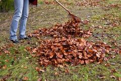 Het harken van bladeren. Verwijder bladeren. Stock Fotografie