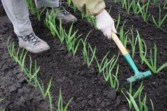 Het harken van knoflookaanplanting Stock Foto