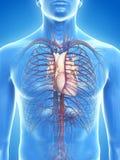 Het hart vector illustratie