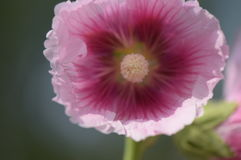 Het hart van de bloem Royalty-vrije Stock Foto