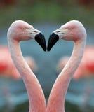 Het hart van de flamingo Stock Fotografie